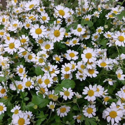 Field Daisy with all my heart