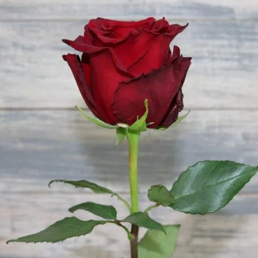 Роза Эксплорер 60 см 1шт