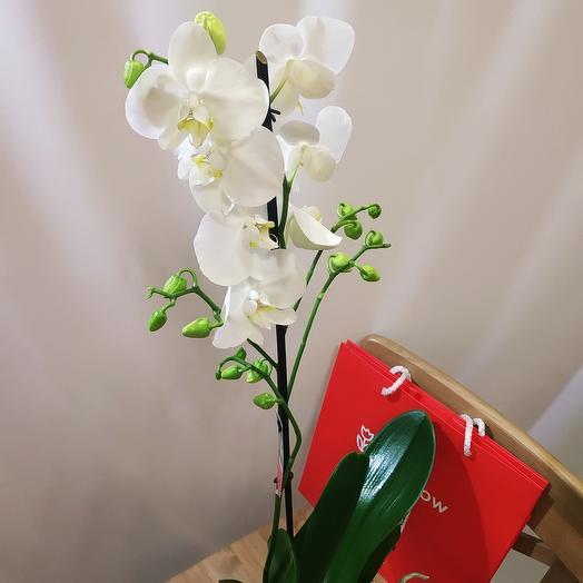 Орхидея Фалинопсис (Phalaenopsis)