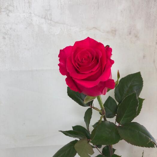 Роза « Gotcha» 70 см
