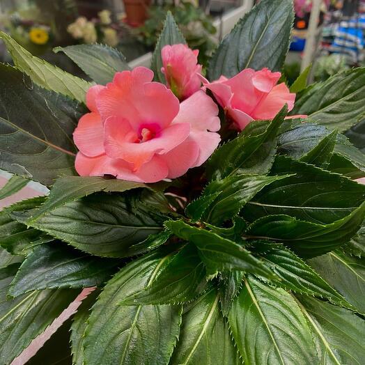 Комнатное растение «Бальзамин»