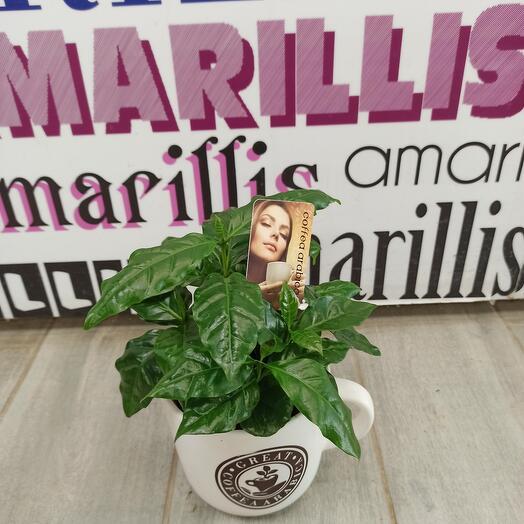 Комнатное растение кофе Арабика в кашпо