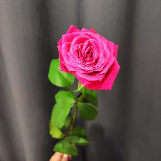 Роза Шангрила 1 шт ( колличество любое)