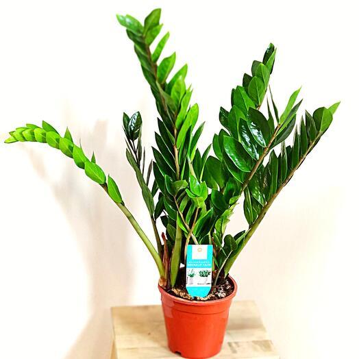 Замиокулькас(долларовое дерево)