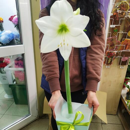 Комнатное растение Амариллис белый