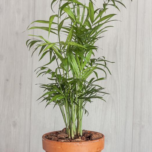 "Комнатное растение Хамедорея ""Элеганс"": букеты цветов на заказ Flowwow"