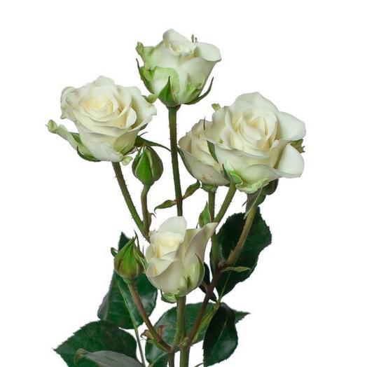 Роза кустовая « Сноу флэйк» 40 см