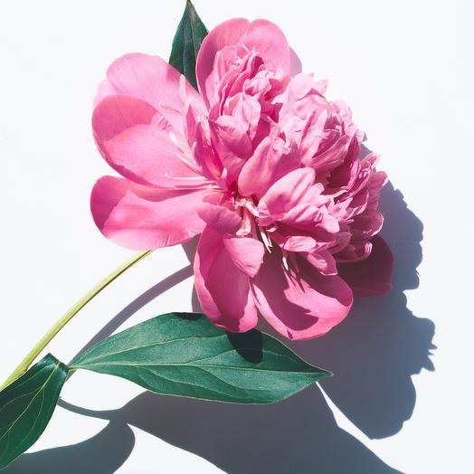 Розовые пионы (букет сухой Лаванды в подарок)