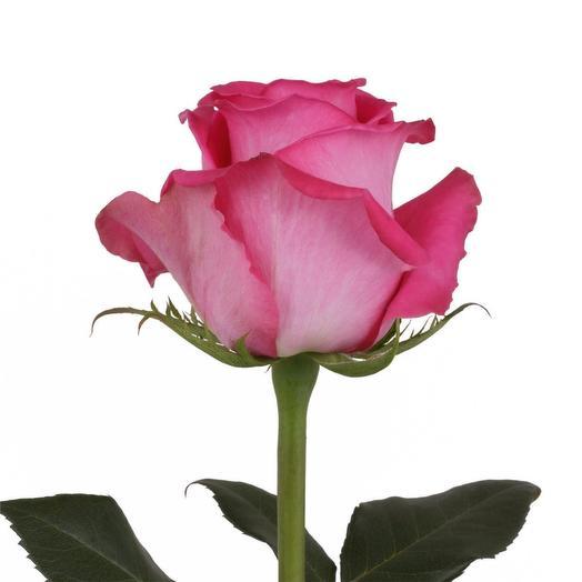 Роза Топаз 60 см