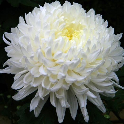 Хризантема белая Антонов 70 см