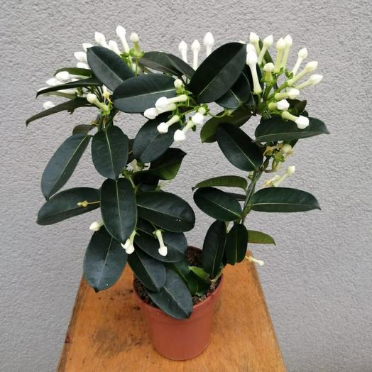 The stephanotis (Jasmine) (Н55см)