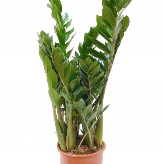 """Комнатное растение """"Замиокулькас"""""""
