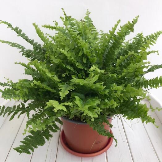 Комнатное растение Нефролепсис