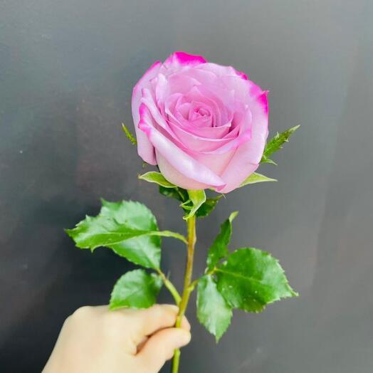 Роза Deep Purple 50 см Эквадор