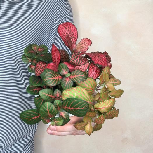 Фиттония: букеты цветов на заказ Flowwow