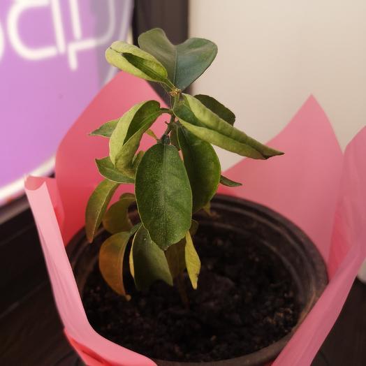 Мандариновое дерево: букеты цветов на заказ Flowwow