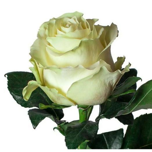 Роза Эквадор белая 65 см
