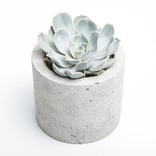 Средний суккулент в бетонном кашпо