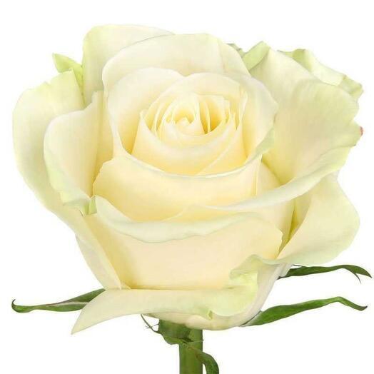 Роза Белая Эквадор 50-60см