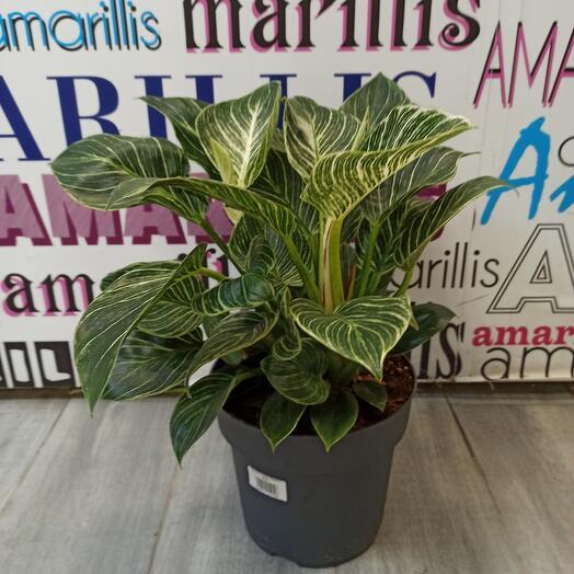 Комнатное растение филодендрон биркин