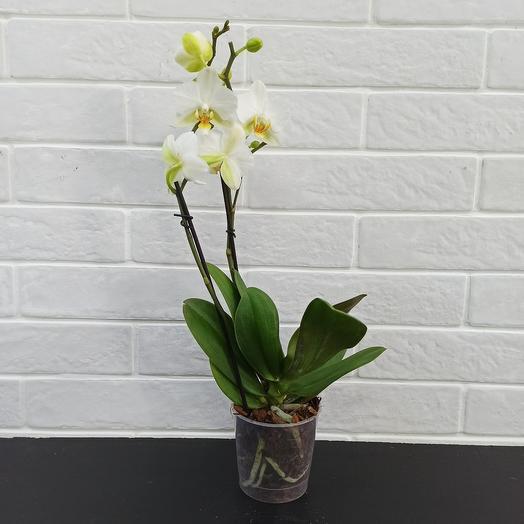 Орхидея / фаленопсис: букеты цветов на заказ Flowwow