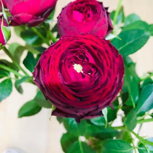 Peony Bush rose