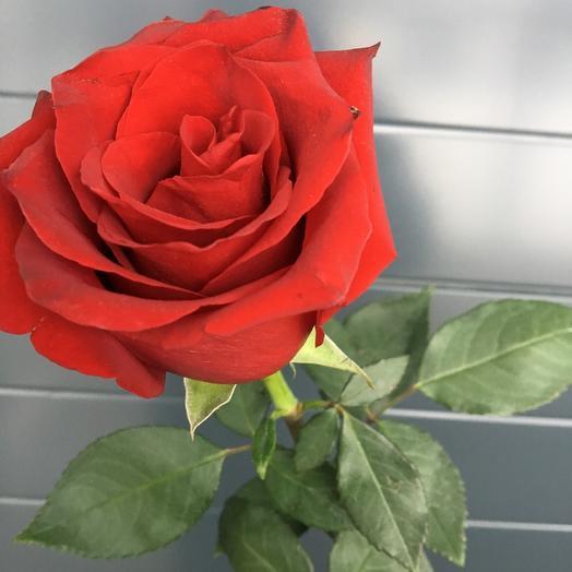Роза красная (70см)