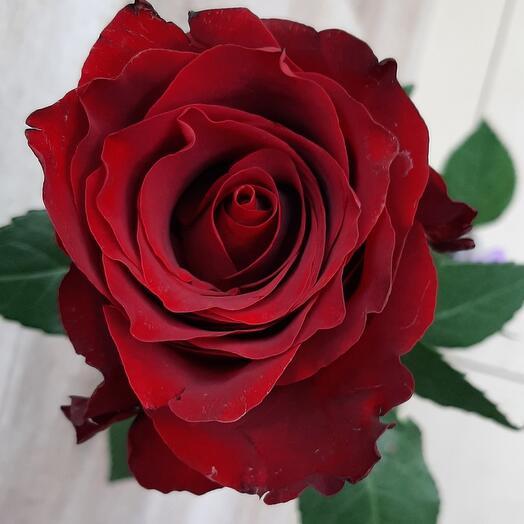 Роза Эксплорер 70см