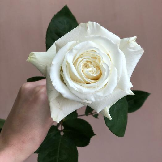 Роза Плая Бланка (70 см)