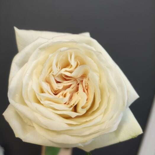 Роза white O Hara