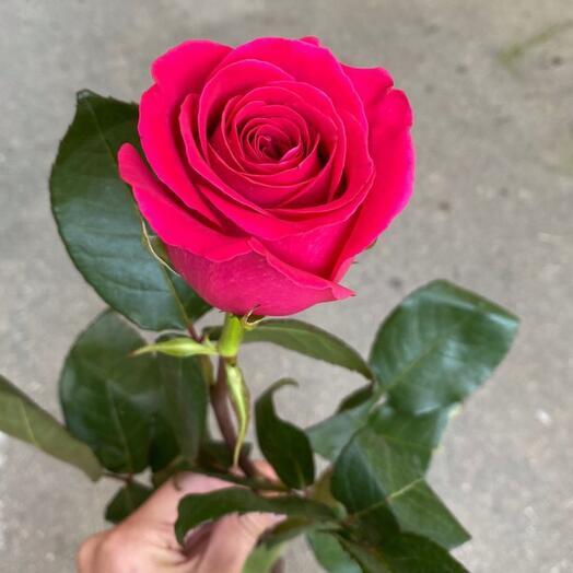 Роза Эквадор Пинк флойд