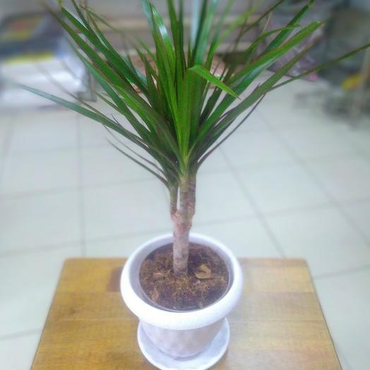 Комнатное растение. Драцена