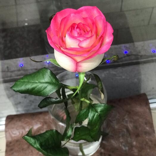 Роза джумилия (80см)