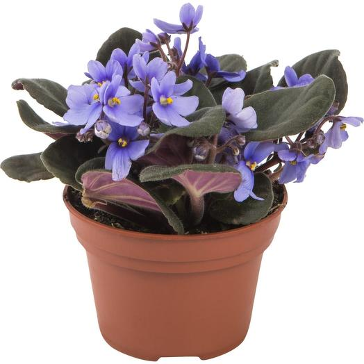 Фиалка голубая Комнатное растение