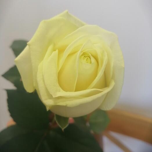 Белая роза 50см