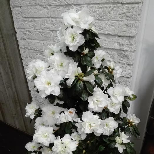 Шикарная азалия для любимой: букеты цветов на заказ Flowwow