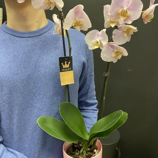 Фалинопсис: букеты цветов на заказ Flowwow