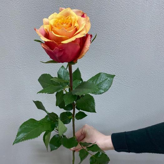 Роза Эквадор