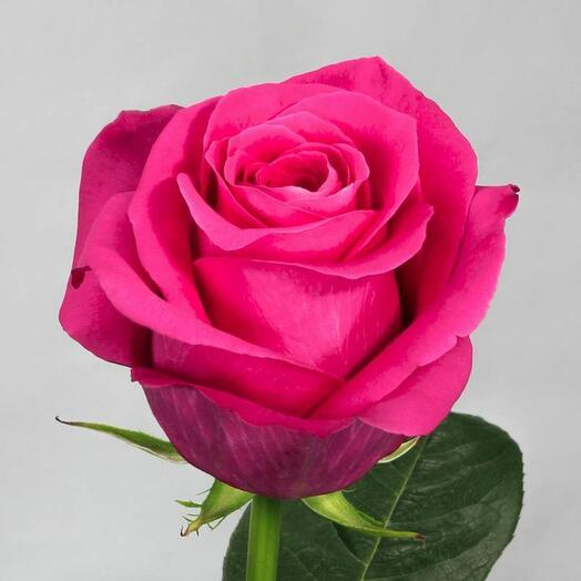 Роза эквадор Пинк флойд 60 см