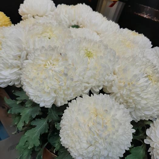 Хризантема осенняя