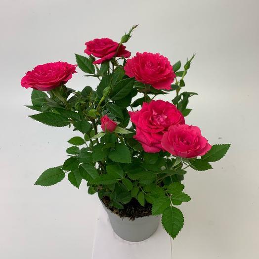 Роза Кардана