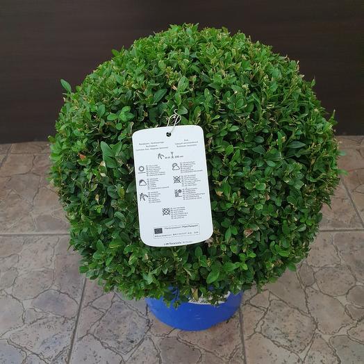 Вечнозелёный самшит ( Buxus )