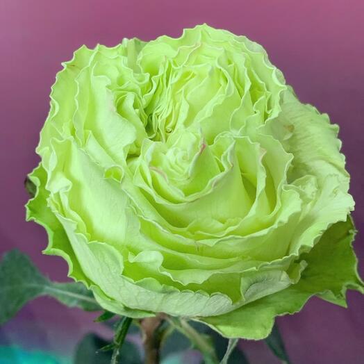 Роза Лимонад, 60 см, Эквадор