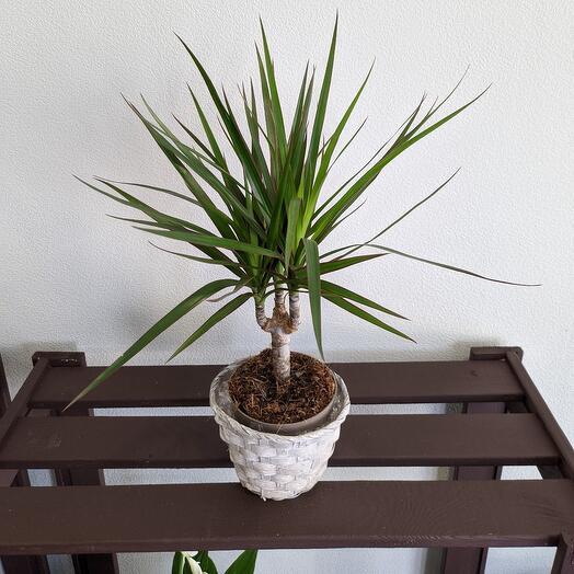 """Комнатное растение""""Драцена"""""""