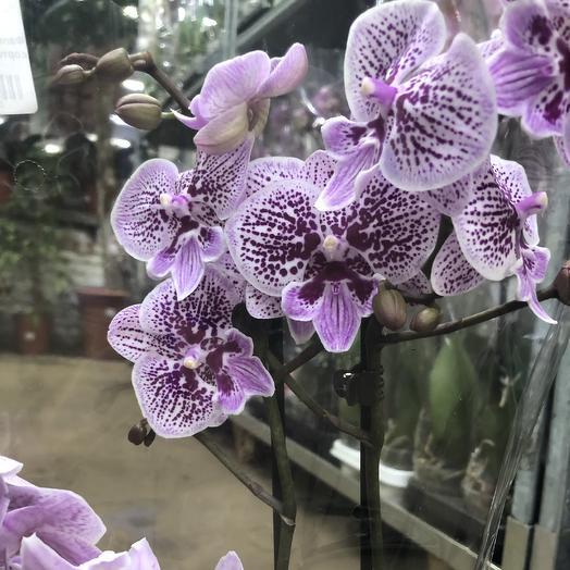 Фаленопсис 2 ветки сортовой: букеты цветов на заказ Flowwow