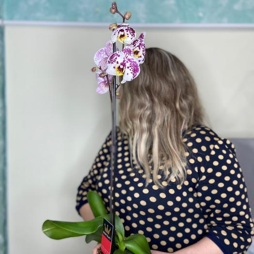 Орхидея Фаленопсис 💕