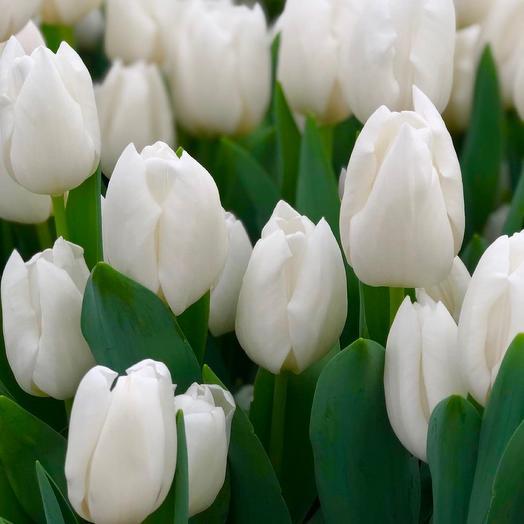 Букет из 19 белоснежных тюльпанов