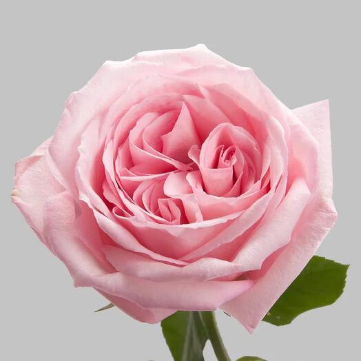 Ароматная роза сорта Pink Ohara «Пинк Охара»