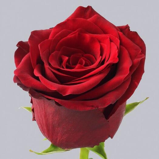 Красная Роза Эксплорер 60 см