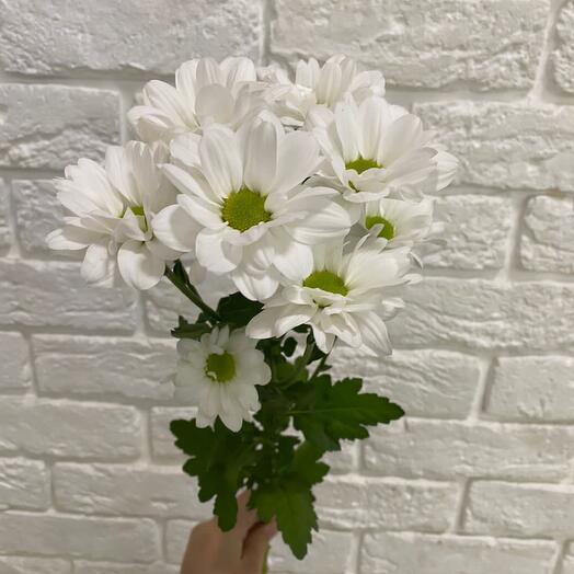 Хризантема ромашковидная